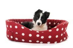 Border Collie pup Royalty Free Stock Photos