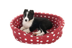 Border Collie pup Royalty Free Stock Image