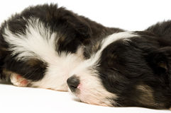 Border Collie Puppies Stock Images