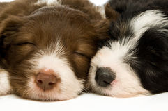 Border Collie Puppies Stock Photo