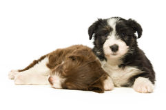 Border Collie Puppies Royalty Free Stock Photography