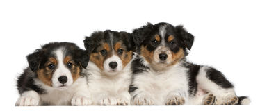 Border Collie puppies, 6 weeks old. In front of white background Stock Images
