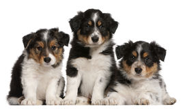 Border Collie puppies, 6 weeks old. In front of white background Royalty Free Stock Photo