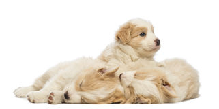 Border Collie puppies, 6 weeks old, lying, sleeping and one is awake and looking away Royalty Free Stock Photo