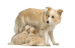 Border Collie puppies, 6 weeks old, suckling mother Border Collie, 2.5 years old Royalty Free Stock Images