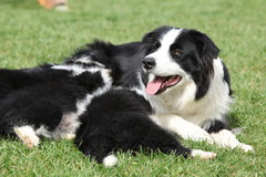 Border collie with puppies Royalty Free Stock Photography