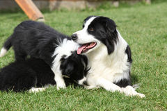 Border collie with puppies Royalty Free Stock Photo