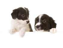 Border collie puppies with a card Stock Image