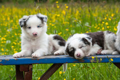Border collie puppies Stock Photography