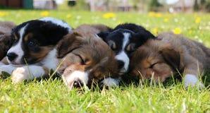 Border collie puppies in the garden royalty free stock photos