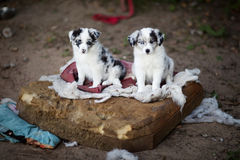Border Collie puppies learn. About the world around Royalty Free Stock Image