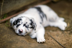 Border Collie puppies Royalty Free Stock Photos