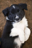 Border Collie puppies Royalty Free Stock Images