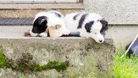 Border Collie puppies sleeping on a farm Royalty Free Stock Photography