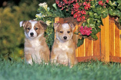 Border Collie puppies. Two Border Collie puppies together in grass by flower pot royalty free stock photo