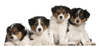 Border Collie puppies, 6 weeks old. In front of white background Royalty Free Stock Photos