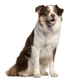 Border Collie puppy, 11 months old, sitting Royalty Free Stock Photos