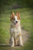 Border collie puppy. Sitting in field royalty free stock image