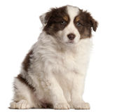 Border Collie puppy, 2 months old, sitting Royalty Free Stock Photo