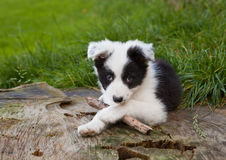 Border collie puppy. Seven weeks old border collie puppy dog in green meadow grass royalty free stock image