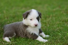 Border Collie puppy. Play on grass ground Royalty Free Stock Photo
