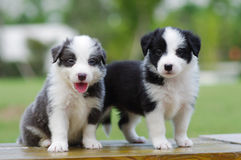 Border Collie puppy. Play on grass ground Stock Photo
