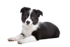 Border Collie puppy. In front of a white background stock photos