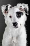 Border collie puppy Royalty Free Stock Photos