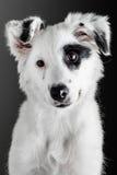 Border collie puppy. Portrait royalty free stock photos