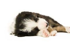 Border Collie Puppy Stock Photo