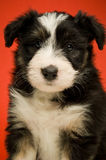 Border Collie Puppy Royalty Free Stock Photos