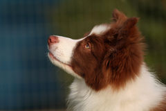 Border collie puppy Royalty Free Stock Photography