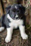 Border collie-puppy Royalty-vrije Stock Afbeelding