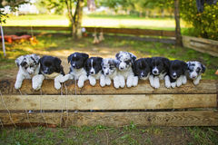 Border collie-puppy stock afbeeldingen