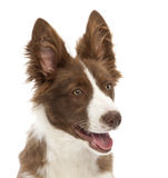 Border Collie puppy, 5 months old Stock Image