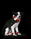 Border Collie puppy. A view of a black and white Border Collie puppy wearing white and red accessories for Christmas, against a black background Royalty Free Stock Image