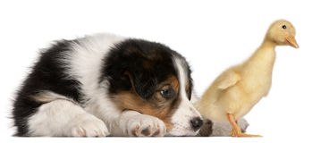 Border Collie puppy, 6 weeks old Stock Photo