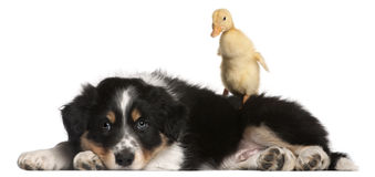 Border Collie puppy, 6 weeks old Stock Image