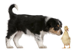 Border Collie puppy, 6 weeks old Stock Images