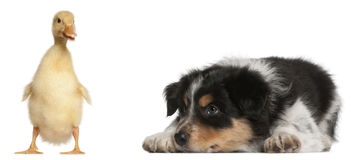 Border Collie puppy, 6 weeks old. Playing with a duckling, 1 week old, in front of white background Royalty Free Stock Image