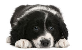 Border Collie puppy, 6 weeks old, lying. In front of white background Stock Images