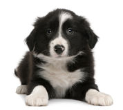 Border Collie puppy, 6 weeks old, lying. In front of white background Stock Photo