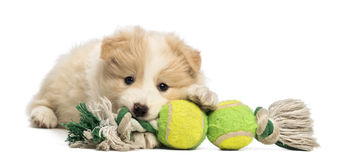 Border Collie puppy, 6 weeks old, lying and playing with a dog toy. In front of white background Royalty Free Stock Photo