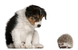 Border Collie puppy, 6 weeks old, playing. With a hedgehog, 6 months old, in front of white background royalty free stock photography