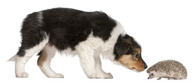 Border Collie puppy, 6 weeks old, playing. With a hedgehog, 6 months old, in front of white background Stock Image