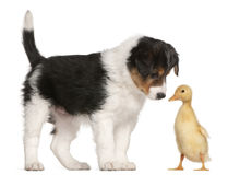 Border Collie puppy, 6 weeks old, playing. With a duckling, 1 week old, in front of white background Royalty Free Stock Photo