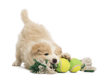 Border Collie puppy, 6 weeks old, playing with a dog toy. In front of white background royalty free stock photo