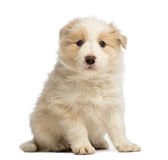 Border Collie puppy, 6 weeks old, sitting and looking at the camera Royalty Free Stock Photography