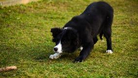 Border collie-puppy Stock Foto