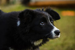 Border collie-puppy Royalty-vrije Stock Foto's
